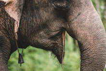 Mouth Of Asian Elephant