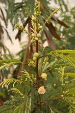 New Flower Buds On White Popin...
