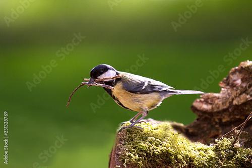 Fototapeta premium Sikora bogatka zbierająca materiał na gniazda, stojąca na omszałym pniu drzewa