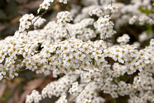 Spiraea Arguta, Bridal Wreath, Masses Of Tiny White Flowers On Thin Stems