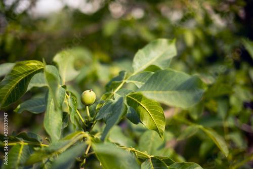 Single walnut on a branch.