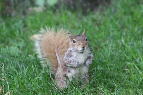 Poster Eekhoorn squirrel