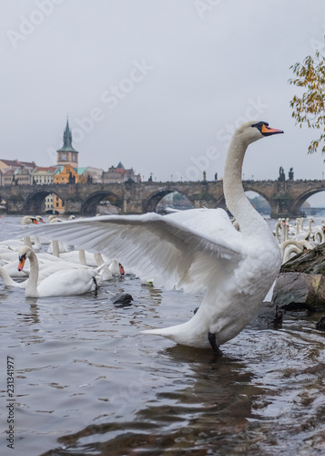 Photo  white swans on the Vltava river in Prague in winter against the background of th