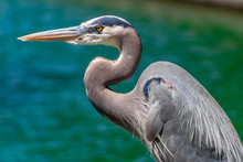 Great Blue Heron Hunting For F...