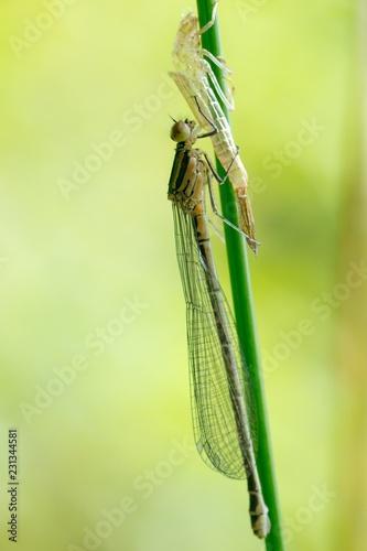 Hufeisen-Azurjungfer (Coenagrion puella), frisch geschlüpftes Weibchen, Exuvie, an Halm einer Binse (Juncus spec.), Lüneburger Heide, Niedersachsen, Deutschland