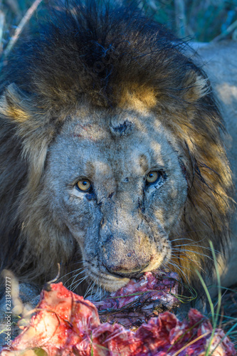 Killer Looks of Jungle King Canvas Print