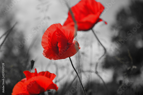 Beautiful field red poppies with selective focus. Red poppies in soft light