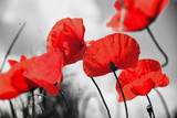 Mak mak lub papaver rhoeas mak ze światłem za sobą we Włoszech pamiętając 1918, wiersz Flanders Fields Johna McCrae i 1944, The Red Poppies on Monte Cassino pieśń Feliksa Konarskiego