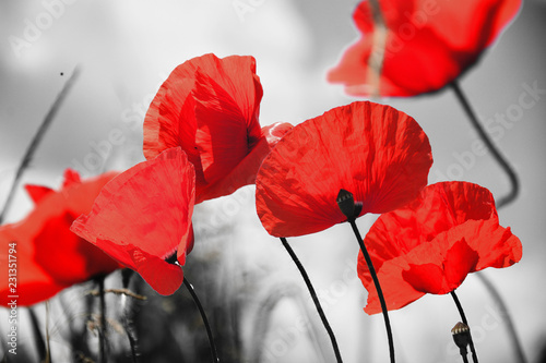 Poppy flower or papaver rhoeas poppy with the light behind in Italy remembering 1918, the Flanders Fields poem by John McCrae and 1944, The Red Poppies on Monte Cassino song by Feliks Konarski