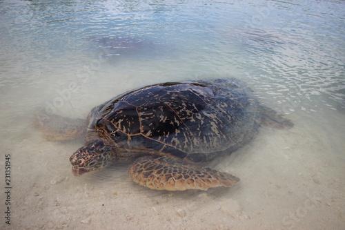 Foto op Aluminium Schildpad big turtle on the beach