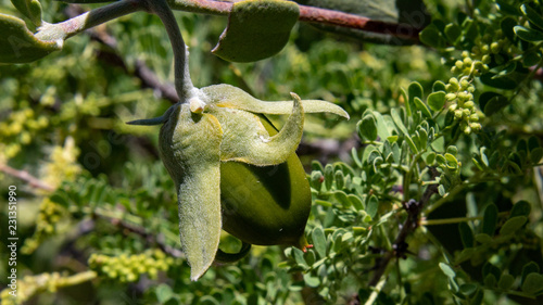 Valokuva  Nearly ripe, a green Jojoba seed or fruit in the Sonoran Desert with Cat's Claw Acacia in the background