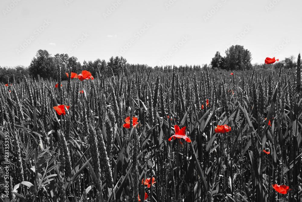 Obraz Poppy flower or papaver rhoeas poppy with the light behind in Italy remembering 1918, the Flanders Fields poem by John McCrae and 1944, The Red Poppies on Monte Cassino song by Feliks Konarski  fototapeta, plakat