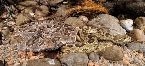 Prärieklapperschlange (Crotalus viridis) - prairie rattlesnake