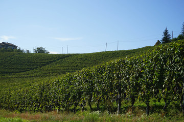 Fototapeta na wymiar Vineyards around Castiglion Falletto, Piedmont - Italy