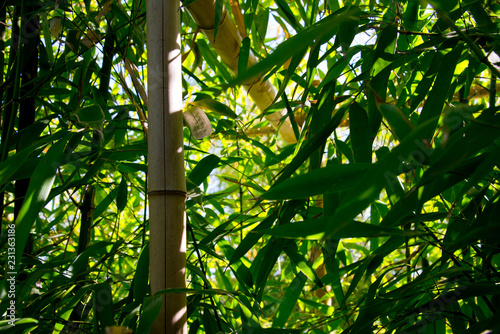 Foto op Plexiglas Bamboe bamboo thicket, shoots, leafs and fence