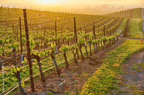 In de dag Verenigde Staten Vineyards at sunrise in California, USA