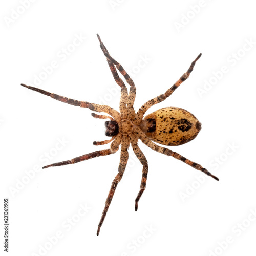Zoropsis spinimana, False wolf spider, underside - photo taken through glass. Isolated on white.