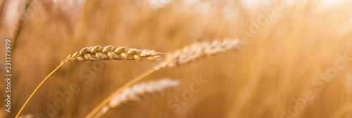 Fototapeta majestic views. Wheat field with the sun. Golden wheat ears close-up. obraz