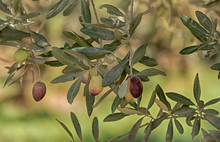 Green And Black Olives On Long Thin Branches