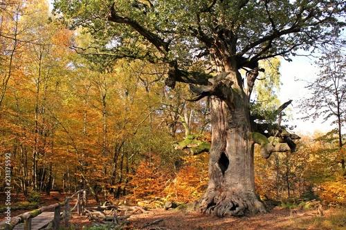 Die 500jährige Kamineiche im Urwald Sababurg im Herbst