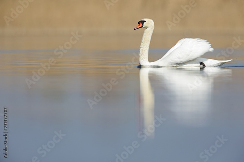 Poster Cygne An elegant mute swan (Cygnus olor) swimming in the morning light in a lake.