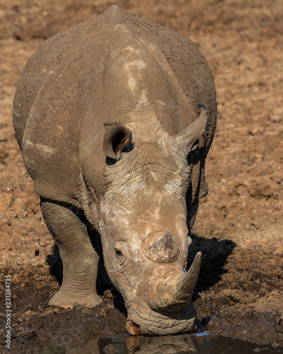 Poster Neushoorn Rhinoceros at waterhole in the Mokala National Park in South Africa