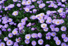 Bright Purple Asters Novae-angliae In The Autumn Garden Enjoyed The Sun.