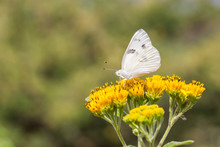 Checkered White Butterfly Feed...