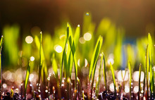 Young Spring Shoots Of Green Grass Sprout In The Garden Under The Rays Of The Bright Warm Sun