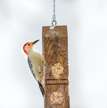 Red Bellied Woodpecker Feeding In Mid Winter, Quebec, Canada.