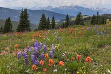 Shrine Pass Wildflowers