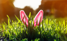 Easter Card With Pink The Ears Of A Toy Rabbit Stick Out Of Lush Green Grass In The Spring Meadow