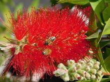 Bottlebrush Or Melaleuca Citrina Or Callistemon Citrinus Red Flower And Honey Bees Or Apis Mellifera