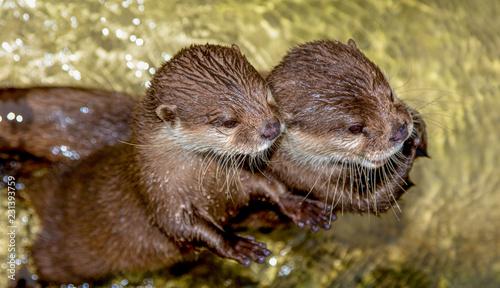 Zweo Otter