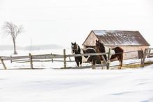Horses Outside In A Snowy Wint...