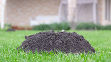 Molehills On Lawn Made By Moles Population View On Sunny Day.