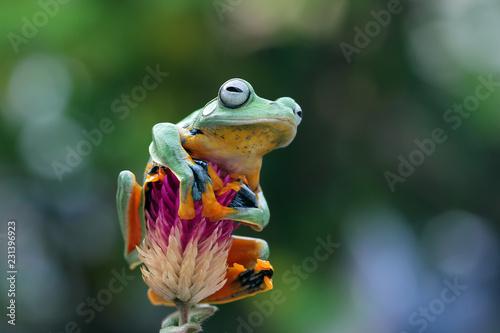 Fototapeta premium Jawajska rzekotka drzewna na gałęzi, latająca żaba, rhacophorus reinwardtii