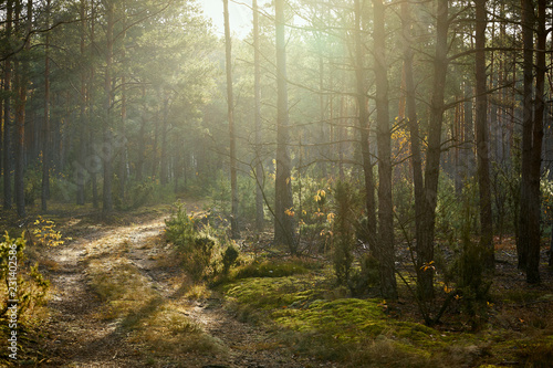 Fototapeten Wald sandy road in a pine forest in the autumn morning