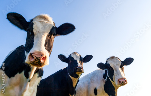Fotografiet Holstein cows over blue sky
