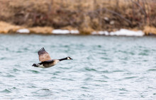 Canada Goose Flying Low Over A Lake In Quebec, Canada.