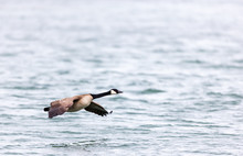 Canada Goose Flying Low Over A...