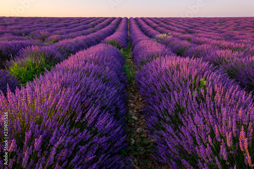 Garden Poster Lavender Champ de lavande en Provence, France. Plateau de Valensole. Lever de soleil.