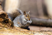 Estern Grey Squirrel Feeding I...