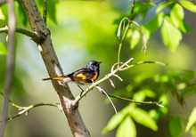 American Redstart Perched In A...