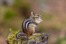 Chipmunk Searching For Food In A Boreal Forest Quebec, Canada.