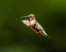 Ruby Throated Hummingbird Shot In A Boreal Forest Quebec, Canada.