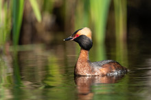 Horned Grebe Swimming In A Lake