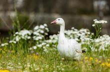 Snow Goose Feeding In A Field Of Wild Flowers.