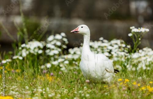 Fotografija Snow goose feeding in a field of wild flowers.