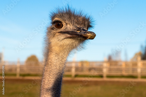 In de dag Struisvogel Ostrich head with neck on the farm.
